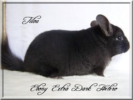 Tilou, Extra Dark Hétérozygote