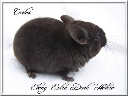 Carlos, Extra Dark Hétérozygote