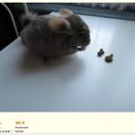 """Chinchilla """"raton"""", très maigre, fourrure longue, gros problème de sélection, prix très très bas et nourriture mélange (mauvais)"""
