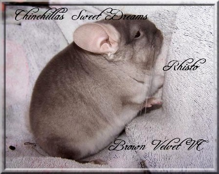 Rhisto, Brown Velvet porteur Violet