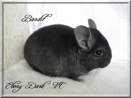 Bandit, Ebony Dark porteur Violet
