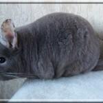 Satinka, mère de Dubaï/Quenotte, medium tan velvet