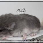 Oliver, Deutsch Violet (RARE