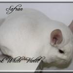 Safran, Pink White Violet