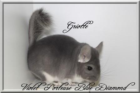 Griotte, Violet porteuse Blue Diamond