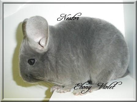 Nestor, Ebony Violet