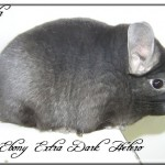 Viola, Extra Dark Hétérozygote
