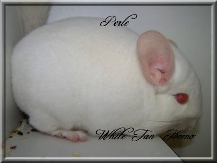 Perle, White Tan Homozygote