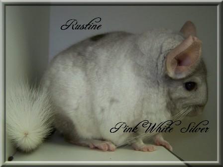 Rustine, White Tan Silver Hétérozygote