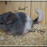 Jumbe, White Ebony