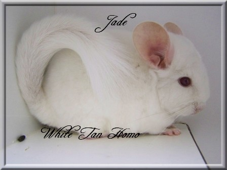 Jade, White Tan Homozygote