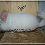 Zaky, White Tan Homozygote