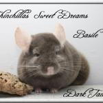 Basile, Dark Tan Hétérozygote porteur Violet