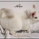 Shérine, White Tan Hétérozygote Velvet