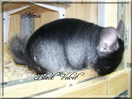 Moris, Black Velvet