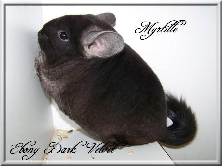 Myrtille, Ebony Dark velvet