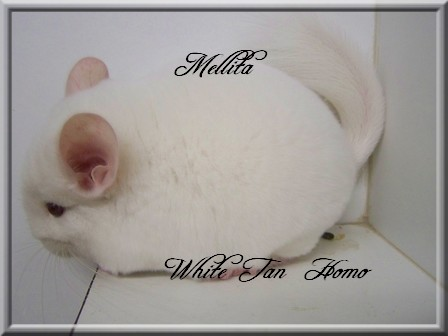 Mellita, White Tan Homozygote