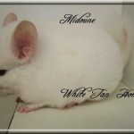 Midoune, White Tan Homozygote