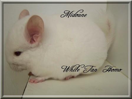 Midoune, White Tan Homozygote