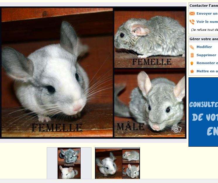 """3 """"reproducteurs"""" raton, très mauvaise sémection, animaux très maigres, fourrure crasseuse"""