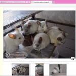 Chinchillas en surnombre dans une seule et même cage de plus tous des white! En espérant qu'ils soient tous du même sexe au moins.