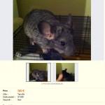 Bébé raton, très mauvaise sélection, poils crasseu, prix bas