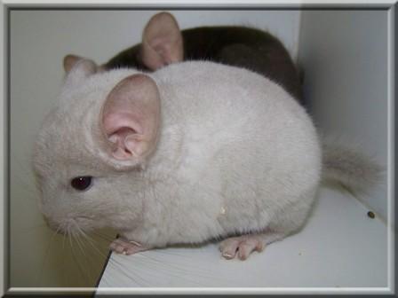Les variantes de beige-violet deviennent quasi blancs avant de se recolorer