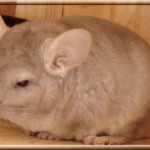 Bolleken, Beige Hétérozygote porteur violet