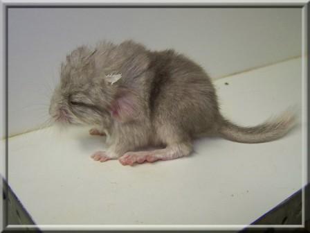 A sa naissance, comme sa soeur il est beige sauf le bout de queue blanc