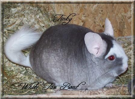 Tinky, White Tan Hétérozygote Velvet