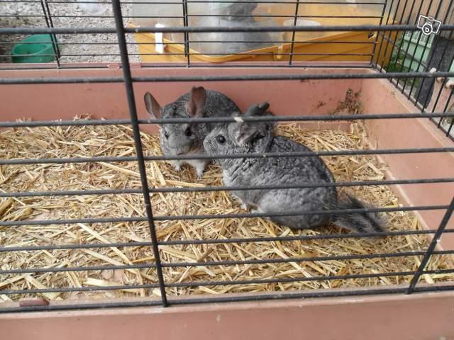 Chinchillas détenus dans des cages à lapin,  aucune planche, crasse ! Paille utilisée comme litière !