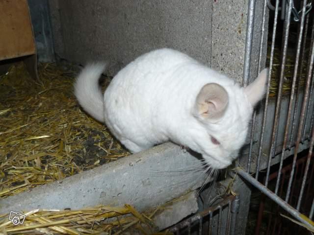Chinchilla détenu dans un clapier à lapin en béton, aucune planche, paille au fond, crasse.