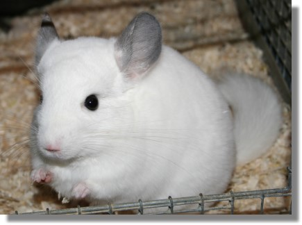 chinchilla-wilson-weiss-chinchilla-lexikon
