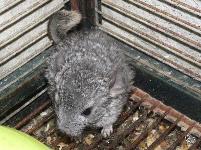 Bébé chinchilla, n'a jamais eu de terre à bain, vit sur des barreaux rouillés, crasse en dessous (nourriture souillée en décomposition)