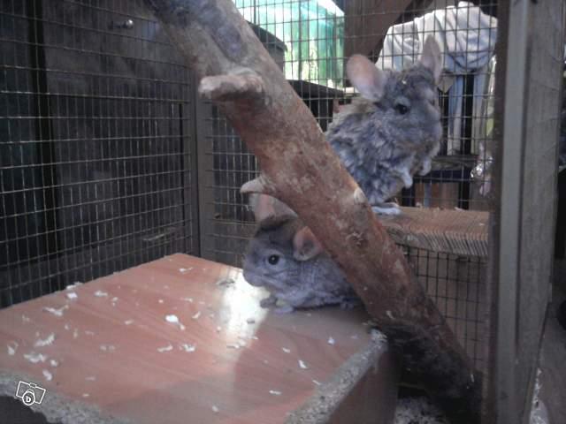 Grave fur-chewing chez ces 2 animaux, probablement car ils vivent sous une cage à oiseaux (on voit les plumes) et dans un garage/une remise.