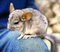 Chinchilla type Lanigera