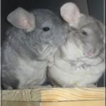 Léo (gauche) et sa chérie stérilisée qui se font un câlin chez Joannie dans le 57