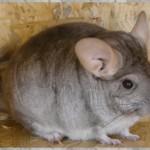 Néréna, mère de Fossette, beige porteuse violet