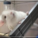 Nuty, White Tan Hétérozygote