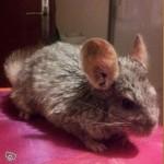 """Animaux """"ratons"""", le manque cruel de sélection en fait un animal qui ne ressemble même plus à un chinchilla! Fourrure crasseuse (a t-il pris un bain d'huile??), oreilles immenses, tête longue."""