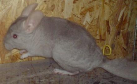 ratoncorps (2)