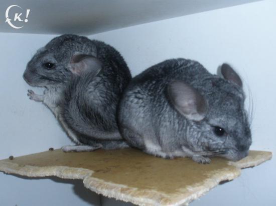 """Couple """"ratons"""" proposé pour la reproduction, toujours la même personne près de chez moi, fourrure crasseusse"""