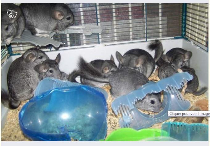 9 ou 10 chinchilla dans une cage minuscule, bonjour la consanguinité, plastique (toxique) complètement rongé
