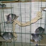 6 animaux dans la même cage, visiblement le couple père/mère et leur progéniture d'âge différent (consanguinité probable)