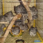 + de 10 chinchillas ensemble !!