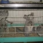 3 malheureux chinchillas dans une minuscule cage à hamster !
