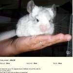 Bébé atteint de teigne au museau. La personne a nié la teigne et m'a répondu que l'animal n'avait rien du tout !!!