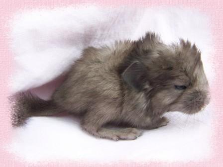 Végas est le chinchilla avec la couleur la plus étrange qui est né à la maison, sous poils blancs